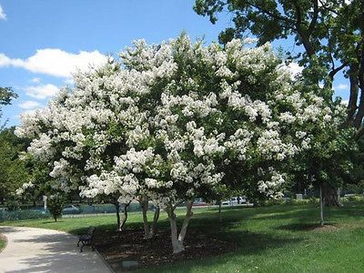 Natchez White Crapemyrtletree 2 3 Feet Tall Fast Growing Crape Myrtle | eBay