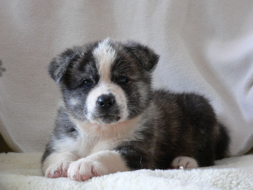 Akita puppies facts pet care information and guide on
