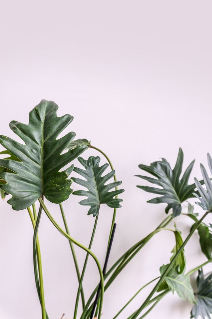 Caring for your philodendron xanadu on soonafternoon big