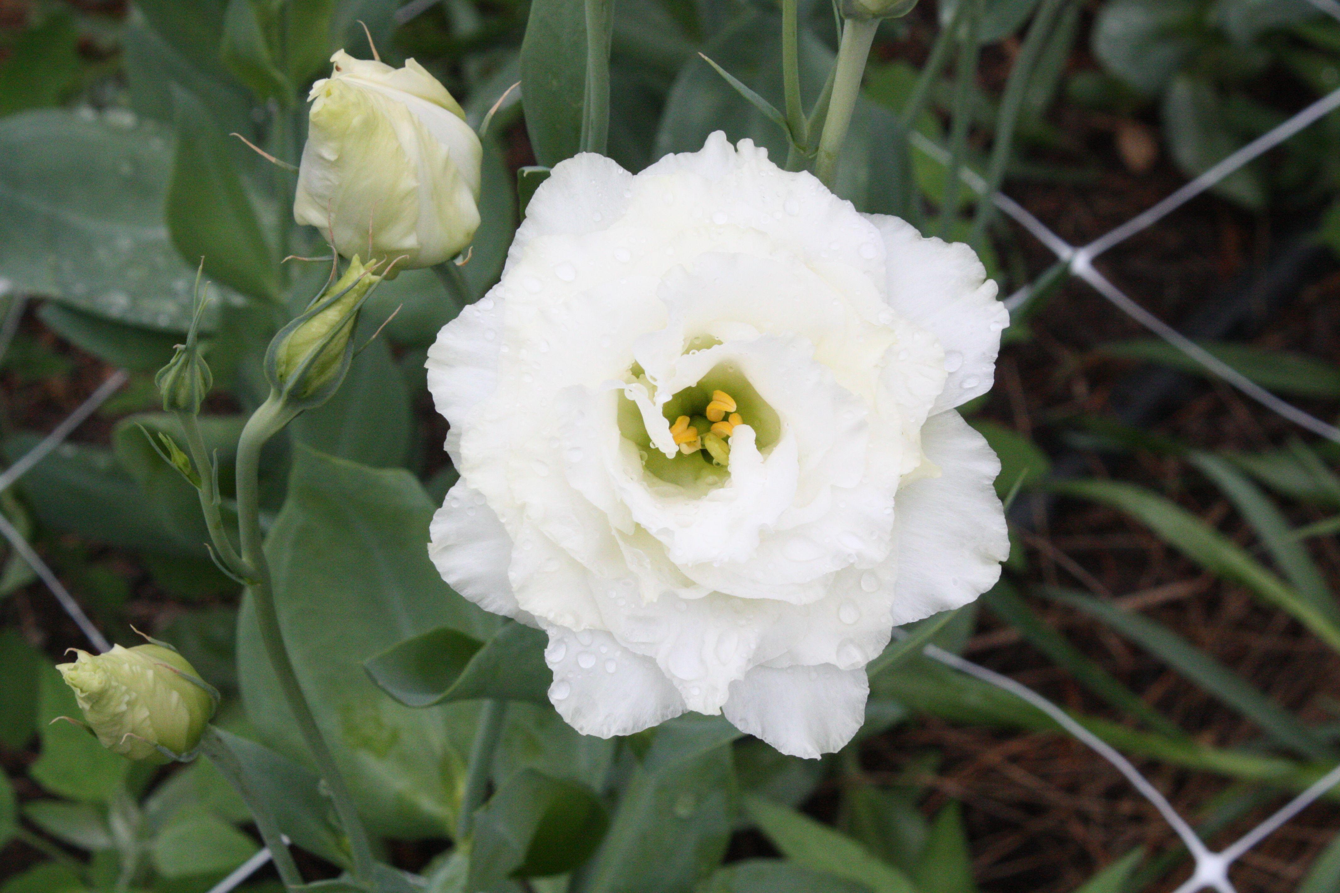 White Lisianthus The Modern Rose July Seasonal Flowers Massachusetts Romantic July Flowers Seasonal Flowers Flower Farm