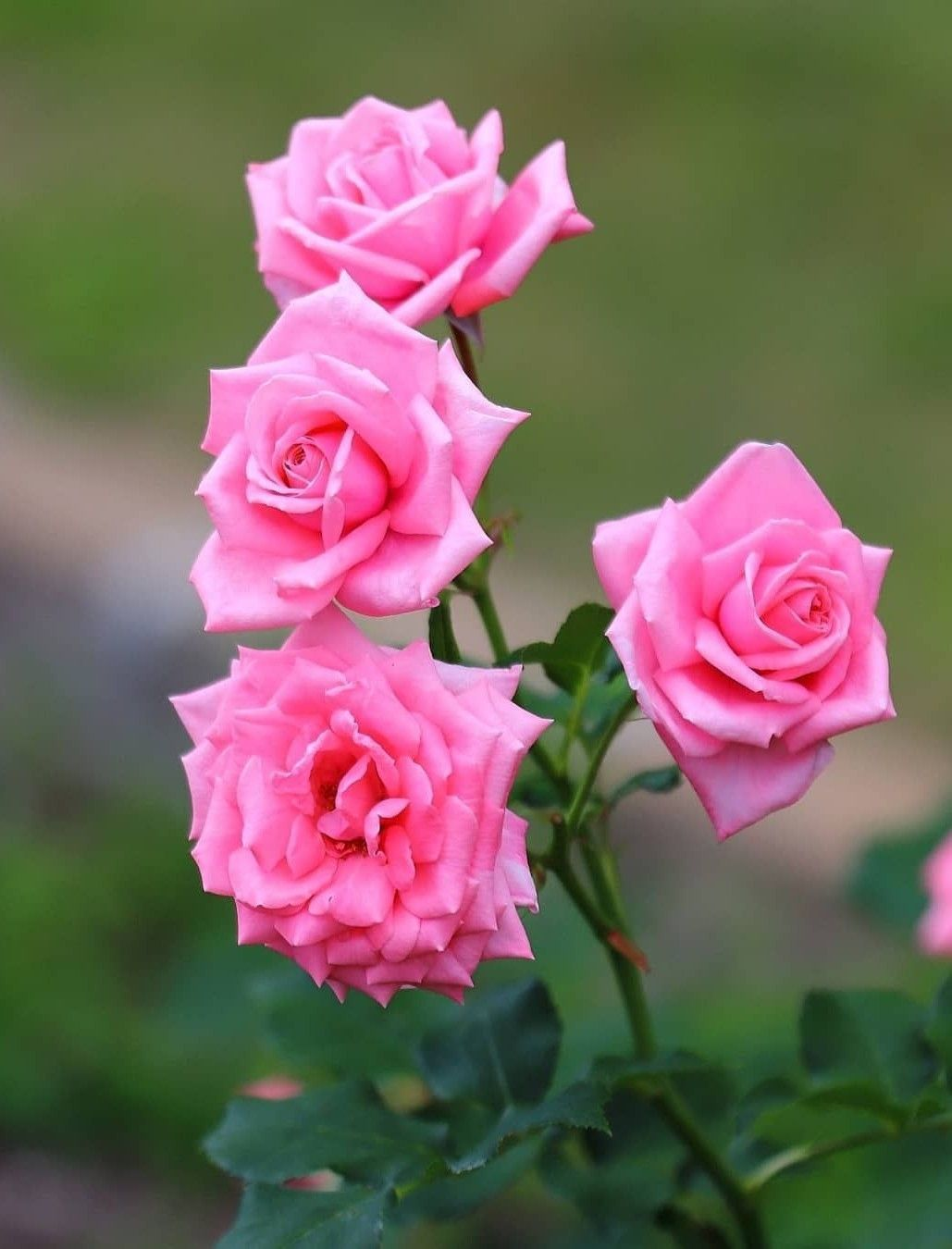 Pin By My Anh On 1 A File General Beautiful Rose Flowers Amazing Flowers Beautiful Roses