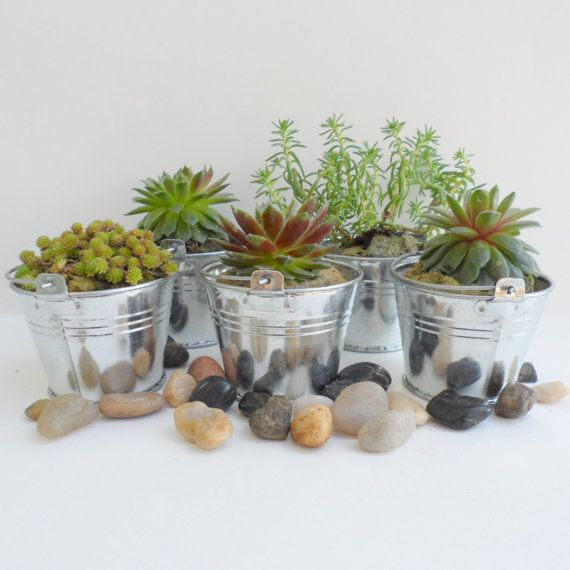 100 Succulent Plants and 100 Silver Pails to Rock your Party