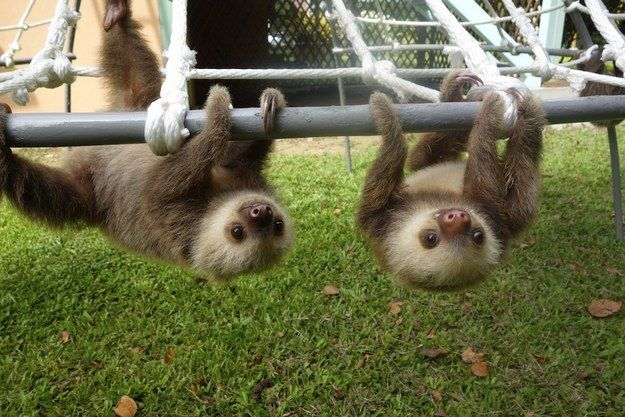 Everything You Ever Wanted To Know About Sloths But Were Afraid To Ask