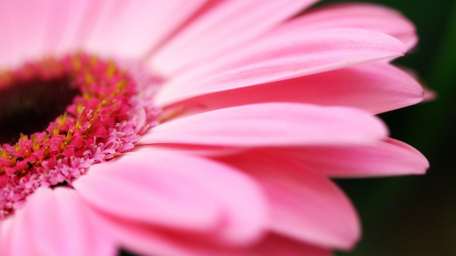 Gerbera Flower Top 10 Hd Wallpapers Rainy Day Wallpaper Rainy Wallpaper Gerbera Flower