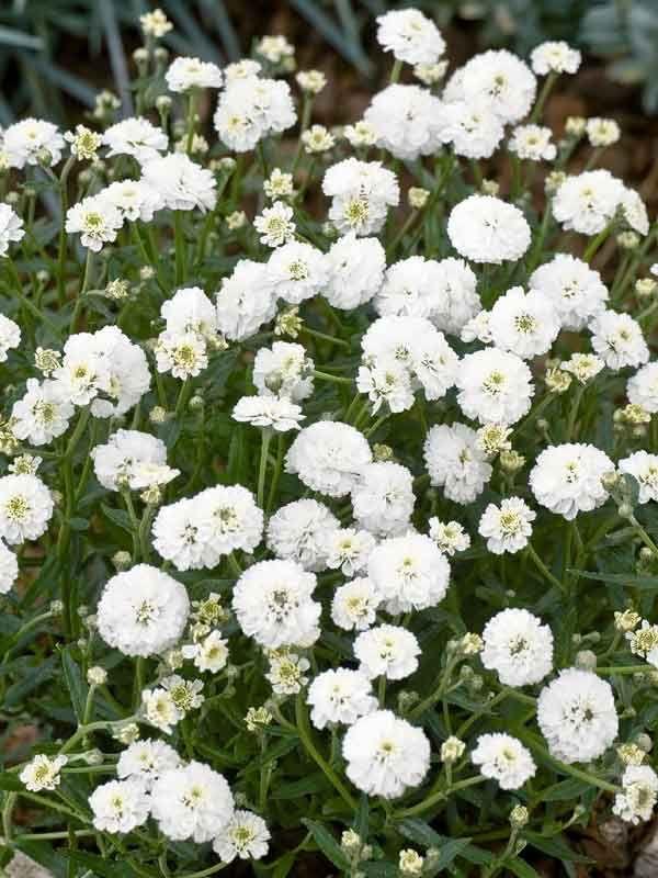 Yarrow Seeds For Sale Achillea Perennial Flower Seeds Flowers Perennials Achillea Perennials