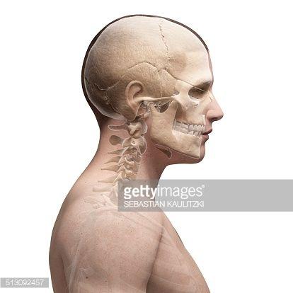 Human Skull And Neck Bones Computer Artwork Anatomyhuman