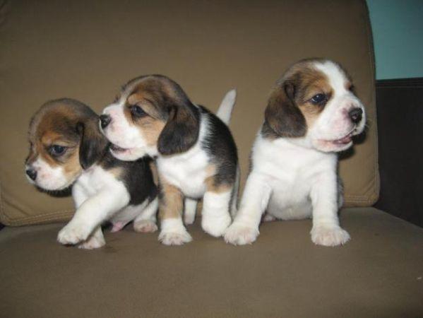 Beagle Puppies Craigslist