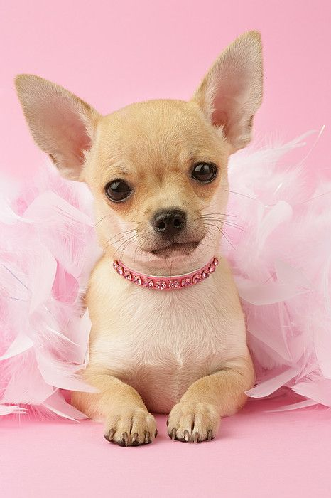 Chihuahua With Feather Boa Perros chihuahua, Mascotas