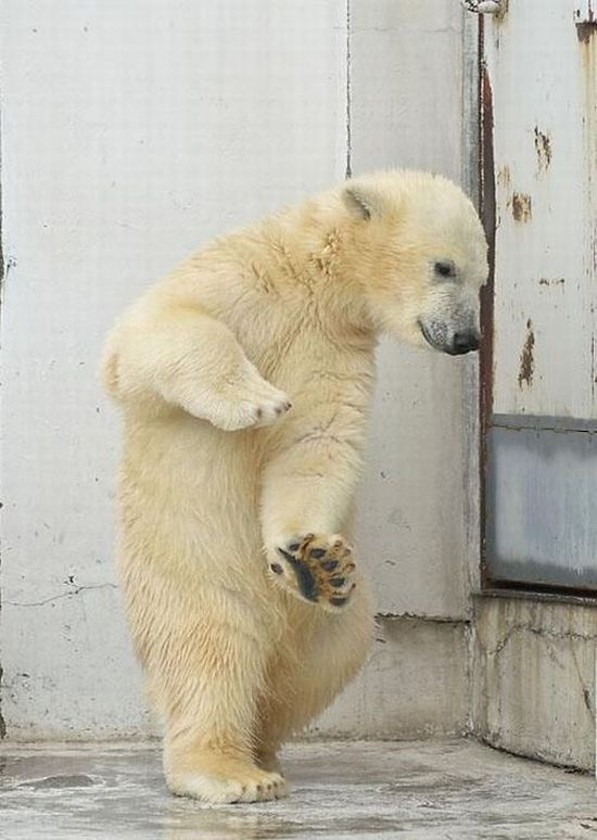 Funny Polar Bears | Funny dance of a polar bear....