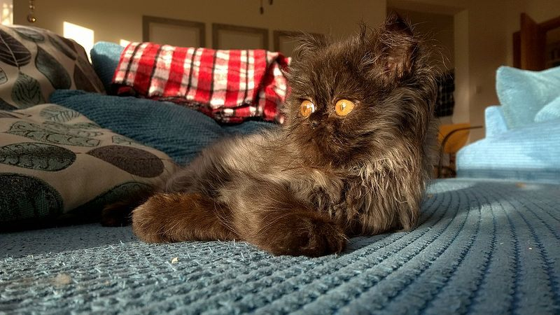 Coco the Chocolate Persian Kitten