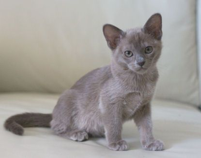 Blue Burmese Kitten Burmese Cat Burmese Kittens Cute Cats