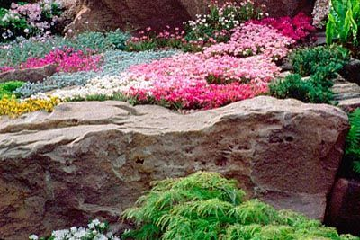 LARGE ROCK COVERED WITH LEWISIA AND TRITELIA. THE ALPINE GARDEN SOCIETY'S 'MAGIC OF THE MOUNTAINS' DESIGNED BY M. UPWARD/R. MERCER. clivenichols.com