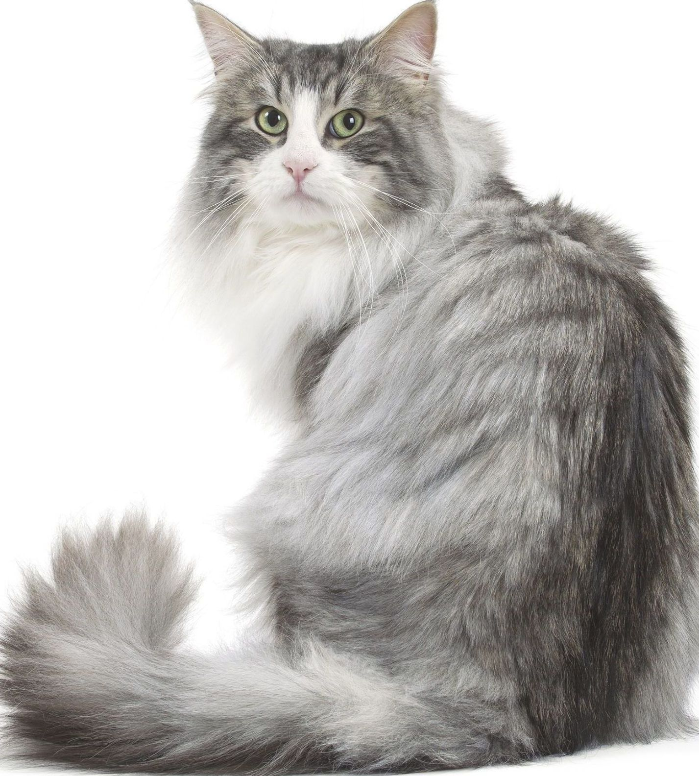 Norwegian Forest Cats You Will Love Catandkitten In 2020