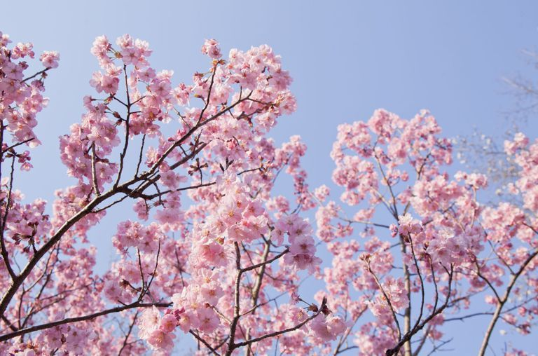 The Allure Of Darkness A N M Love Story Watty S 2019 Completed Spring Flowering Trees Cherry Blossom Tree Cherry Blossom Quotes