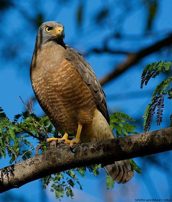 Gavião-Carijó; Roadside Hawk (Rupornis Magnirostris)