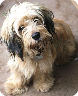 8 15 16 Allentown Pa Havanese Dachshund Mix Meet Saffron A Dog For Adoption Kopek