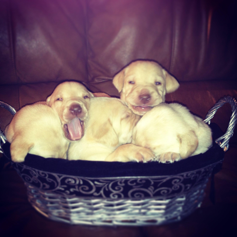 Basket full of yellow lab puppies!