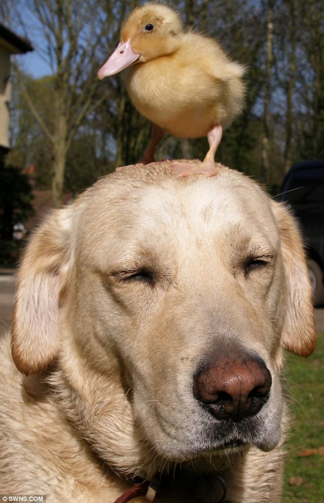Adorable Labrador with a duck on his head
