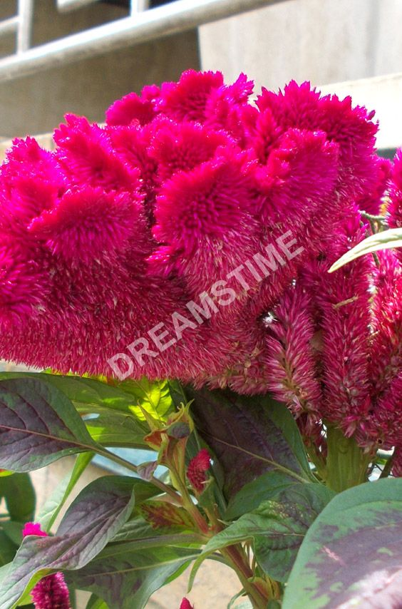 Celosia Cristata Red Color Cockscomb Flowers Flowers Color Image