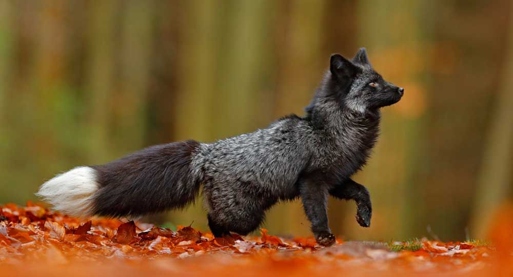 14++ Fox spirit animal meaning ideas