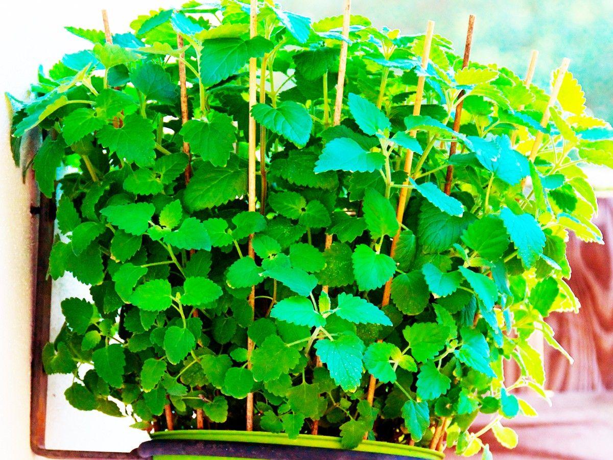 8 pflanzen die m cken fernhalten tipps pinterest pflanzen garten und garten pflanzen. Black Bedroom Furniture Sets. Home Design Ideas