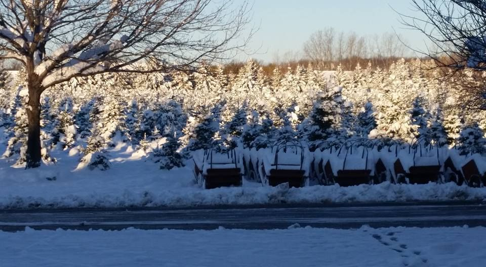Candy Cane Christmas Tree Farm Oxford Michigan Christmas Tree Farm Cool Christmas Trees Tree Farms