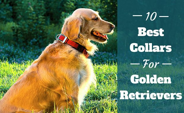 10 Best Collars For Golden Retrievers Dogs Golden Retriever