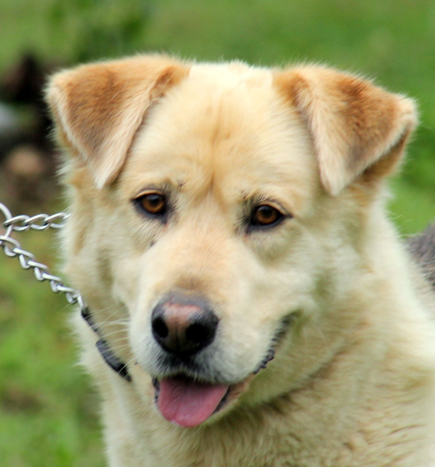 Labrador Retriever dog for Adoption in Sparta, TN. ADN