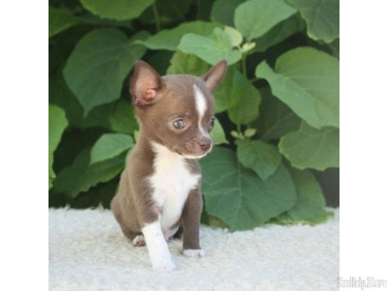 Chihuahua Puppies In Marylan Chihuahua Puppies In Maryland