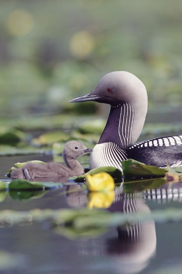 Loon with baby. The loon, the size of a large duck or small goose, resembles these birds in shape when swimming. Like ducks and geese but unlike coots (which are Rallidae) and grebes (Podicipedidae), the loon's toes are connected by webbing. The bird may be confused with cormorants
