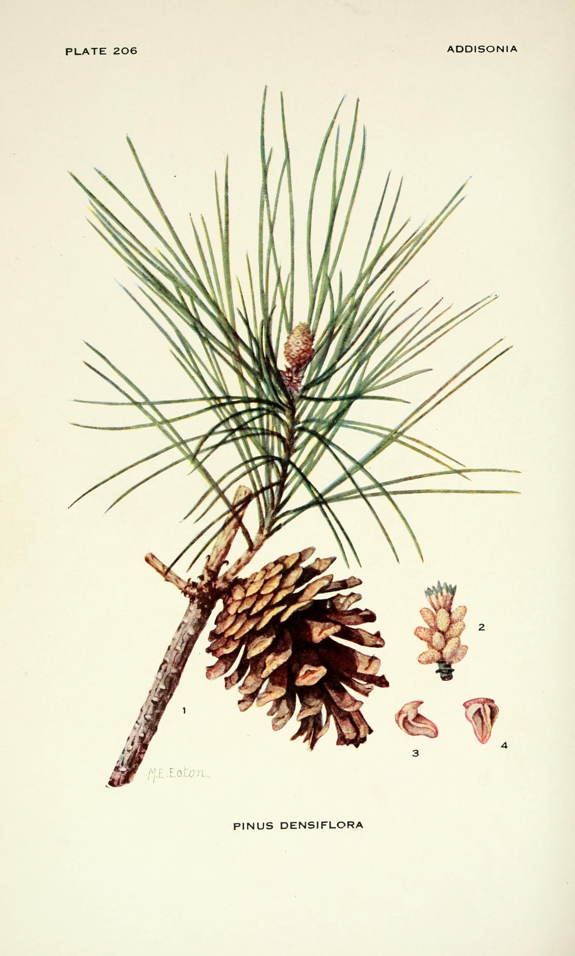 Pinus densiflora Siebold & Zucc. | Illustration | Pinterest ...