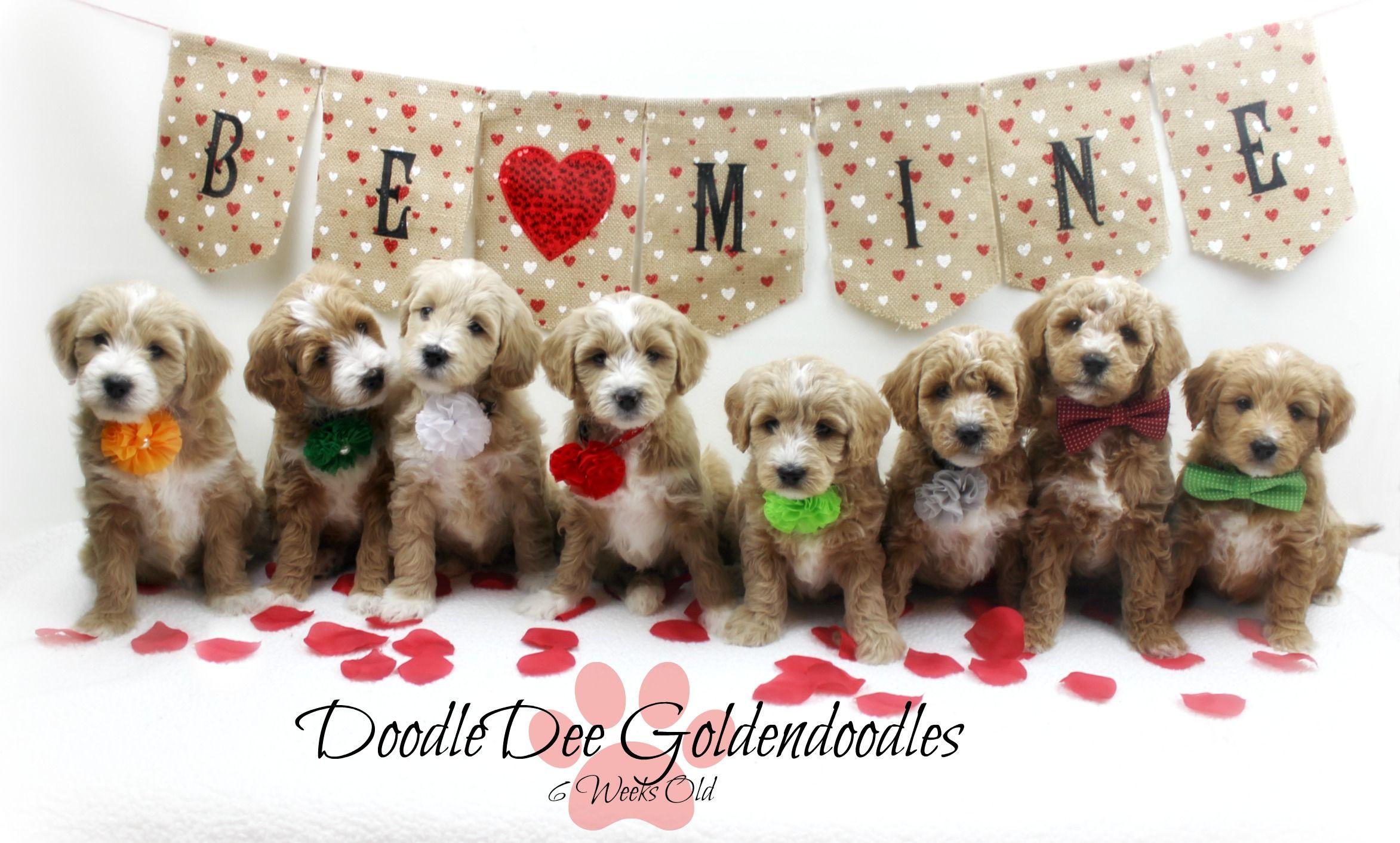 Park Art|My WordPress Blog_St Berdoodle Puppies For Sale Florida