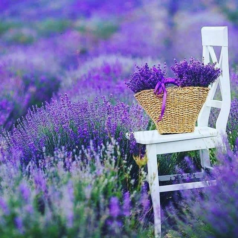 Summer In France The Fields Of Lavender Fade And The New Brilliant Fields Of Sunflowers Raise Their Lavender Flowers Small Purple Flowers Lavender Flowers Diy
