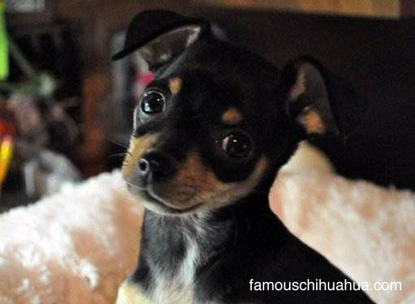 Piper The Adopted Teacup Size Chihuahua Puppy Found On Craigslist