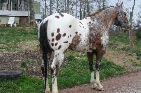 Champion at halter, western pleasure, trail. Easy to handle, heavy built. Puts flat kneed lope, good comformation and gentleness on foals. Son of Bright Co-Star by Prince Shannon ( hall of fame). Bloodlines to Mighy Bright, Prince Plaudit, Peavy Bimbo, Bright Eyes Brother.
