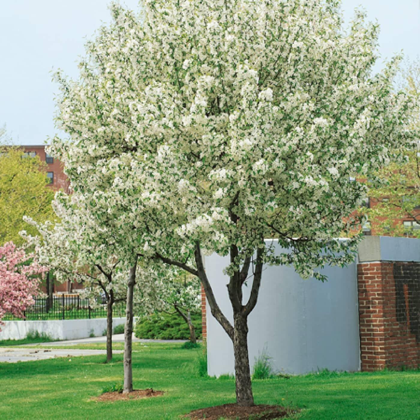 Malus John Downie Crab Apple Tree Apple tree blossoms