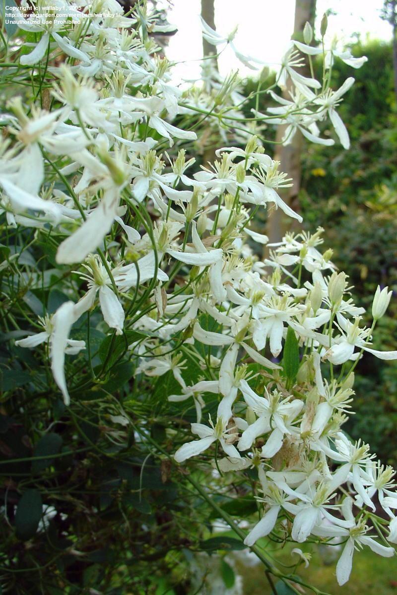 Fragrant Virgin/'s Bower Seeds Clematis Flammula 100 Seeds