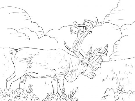 porcupine caribou or grant s caribou animal colouring pages