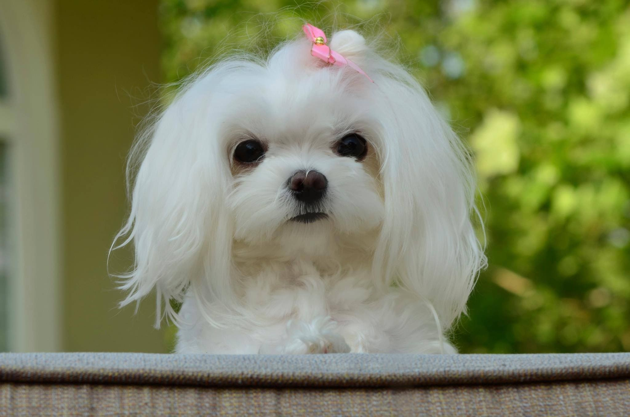 Sweet Little Girl Maltese With Images Maltese Dogs Maltese