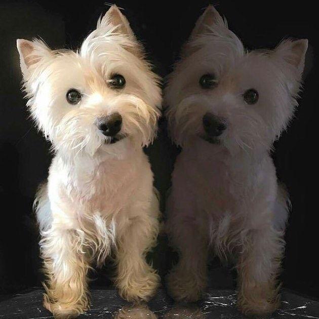 repost itdoog... Westie terrier
