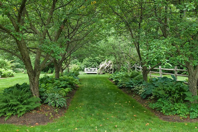 Walkway in shade garden under allee of trees, with hostas ...