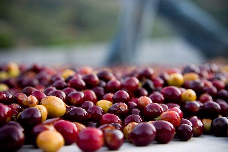 Grãos de café tipo Bourbon, uma variedade da espécie arábica. Foto: Jakeliefer / Flickr