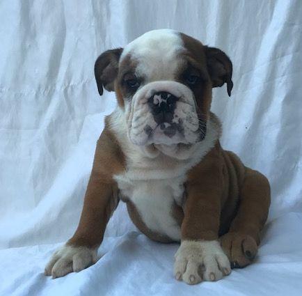 Bulldog Puppy For Sale In Summerville Sc Adn 32167 On