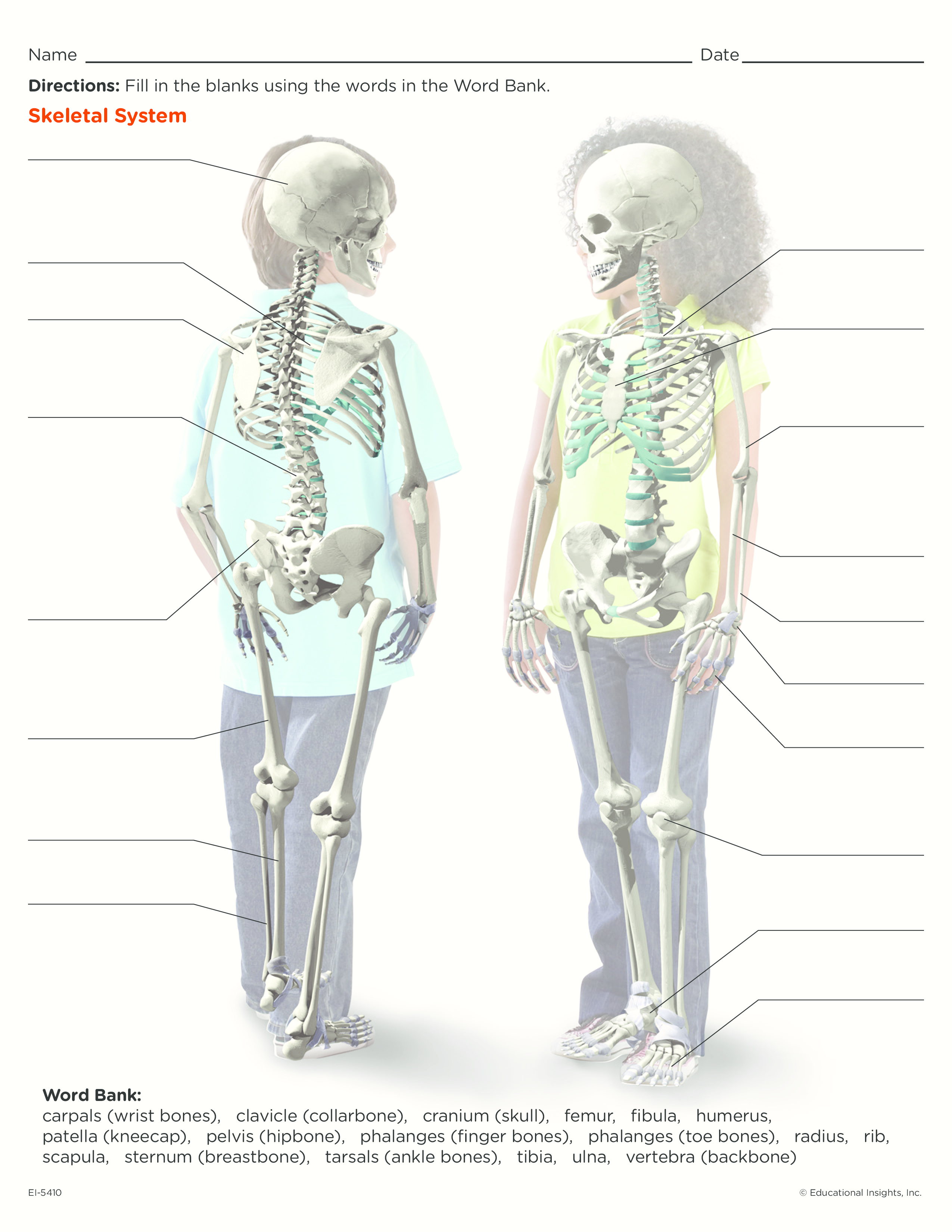 Cool Worksheet For Kids To Learn About The Skeletal System Find