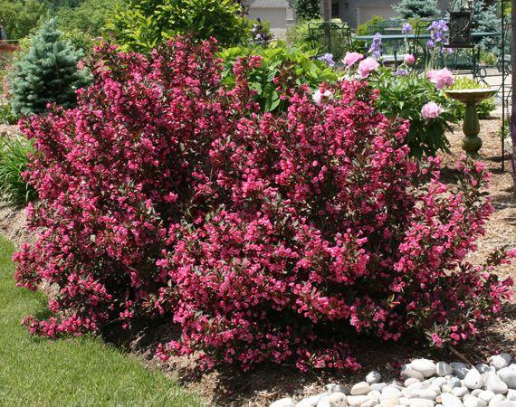 Heritage Landscape Design Weigela Wine And Roses Shrubs Plants