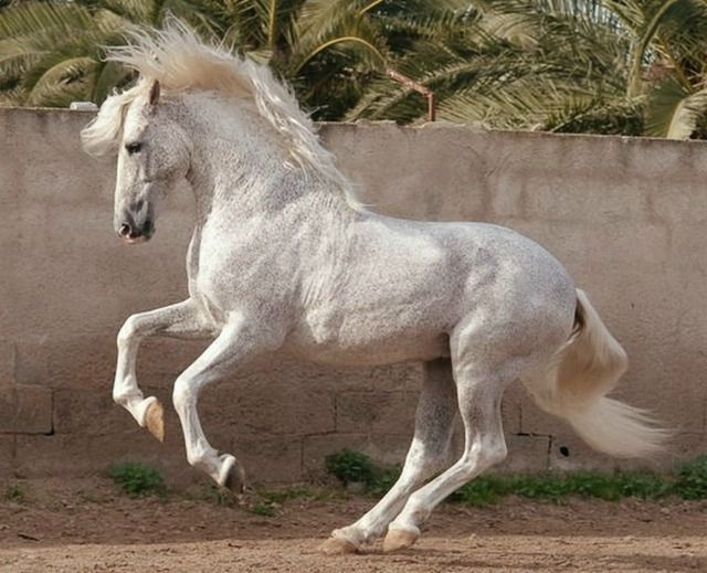 Pura Raza Española stallion Jaquimero, 22 years old. photo: Bob Langrish.  Wow, 22 and going strong.