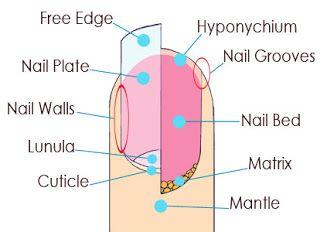 Fingernail Anatomy, Nail Saving Tips | Nails Beautiqued
