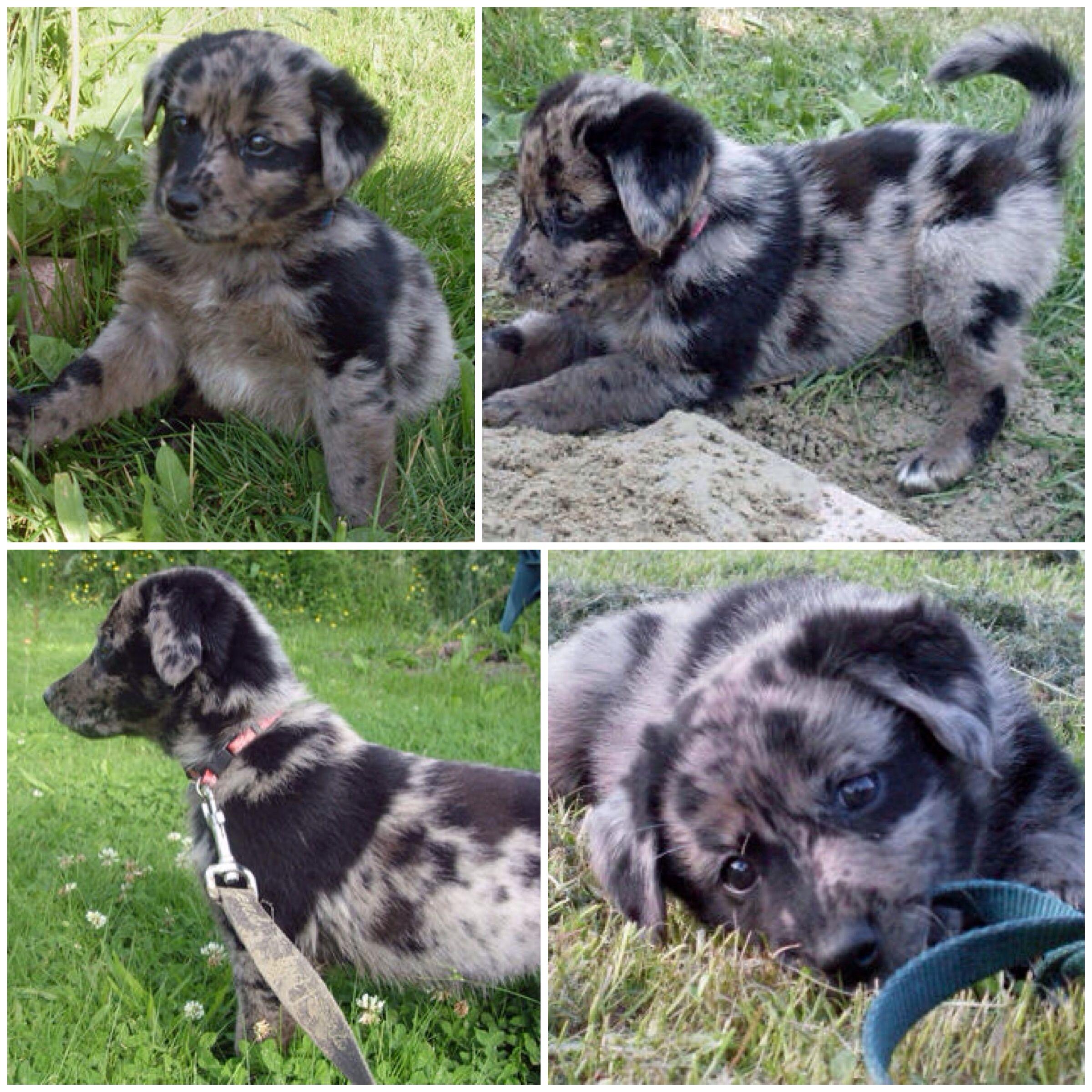 Australian Shepherd/Lab mix! Sooo cute | Miscellaneous ...