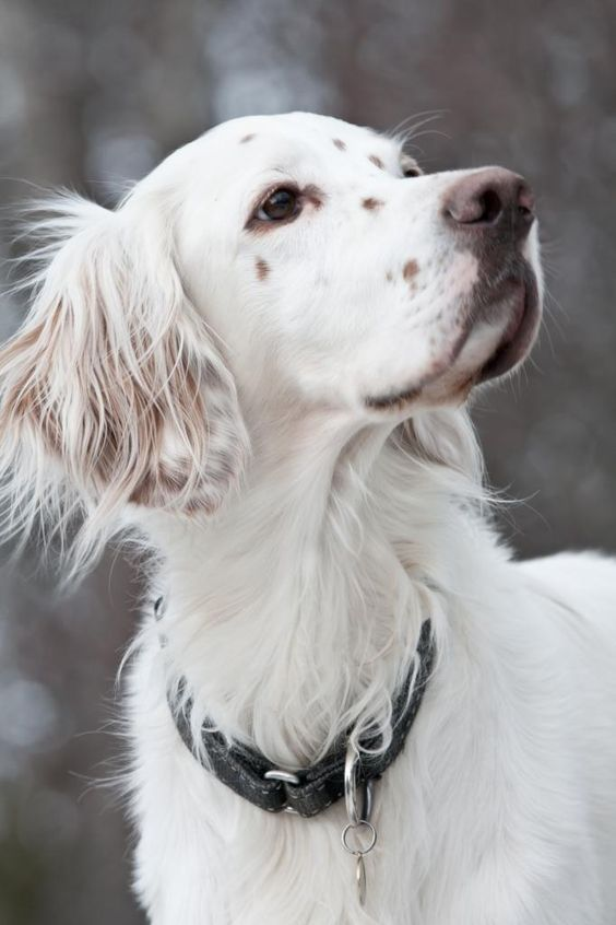 Pin By Haley J On Animals English Setter Dogs Dogs English Setter