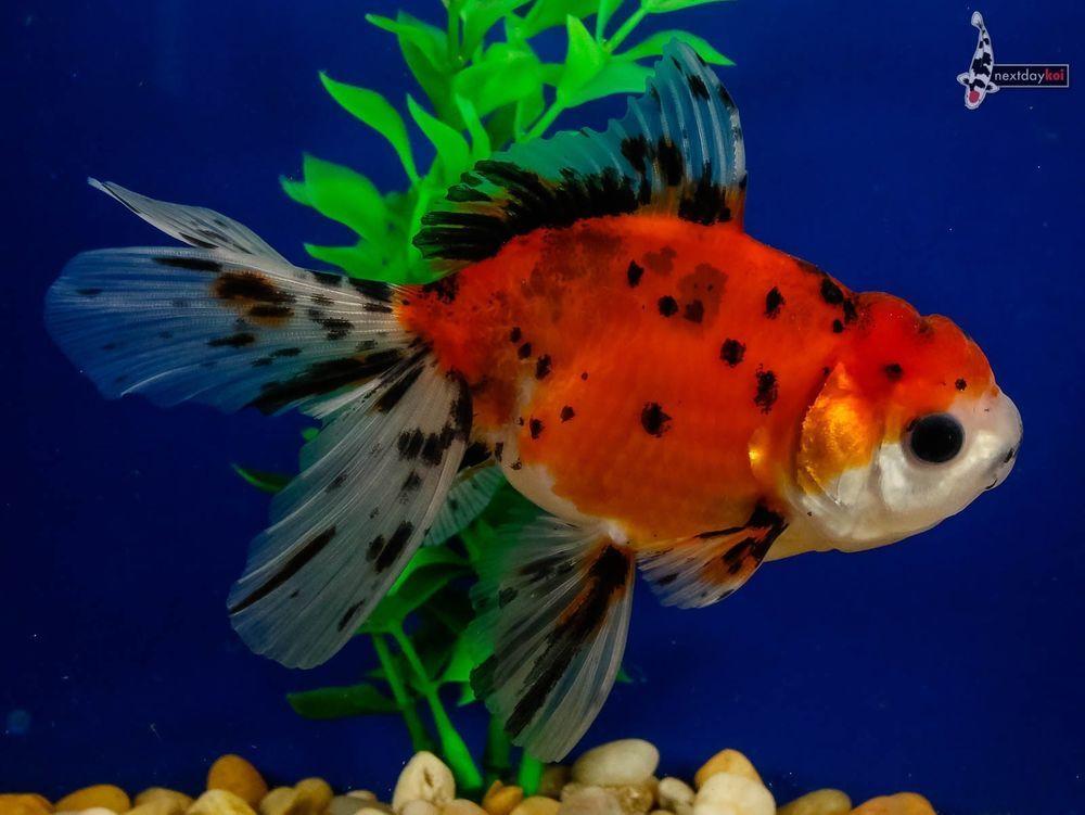 Fancy Goldfish For Sale Online